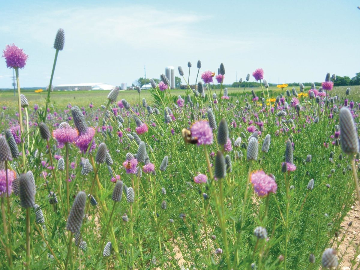 Restored prairie areas adjacent to agricultural land.