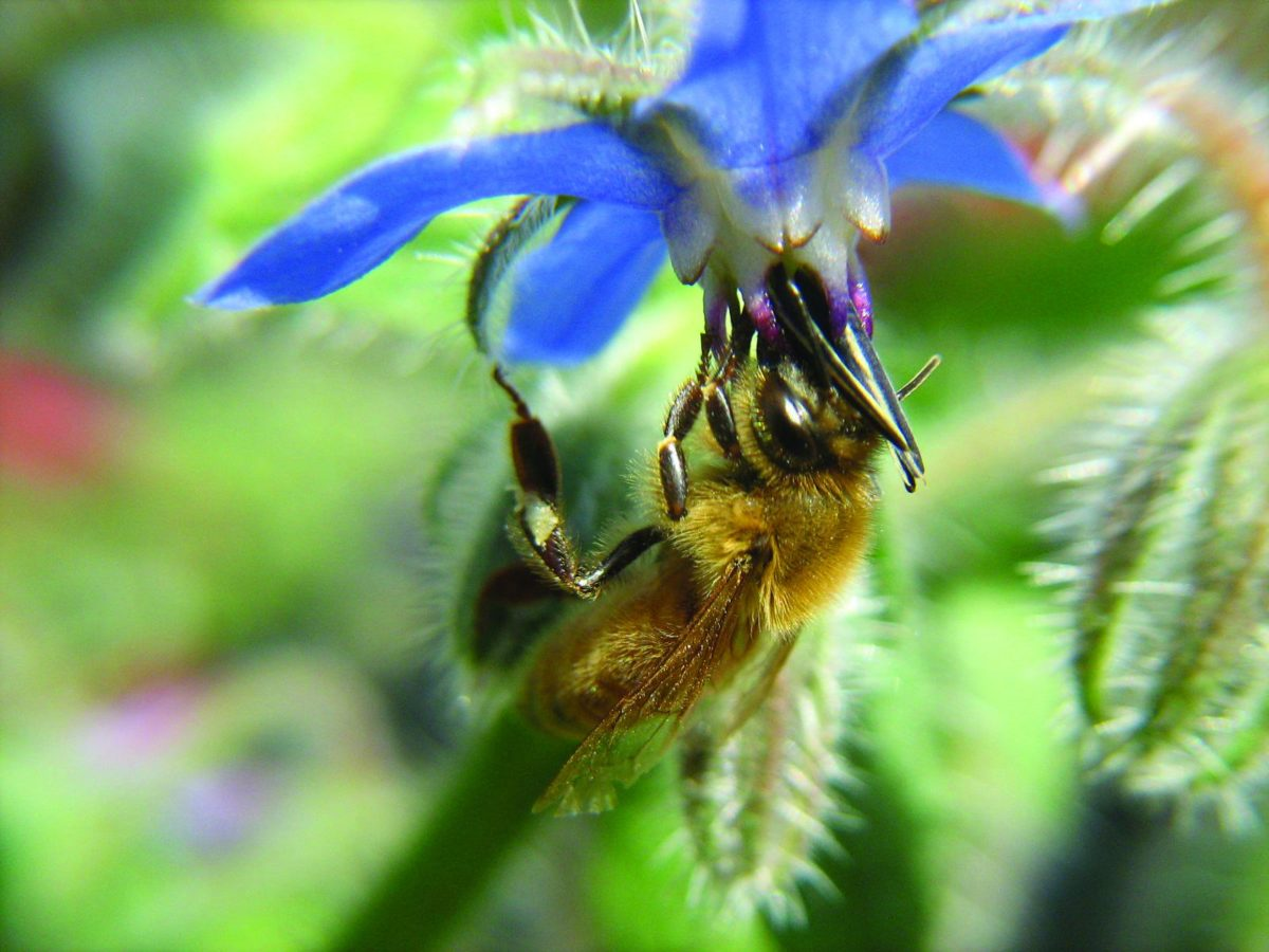 A honey bee gathering nectar from a borage flower.