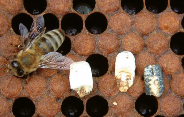 Honey bee larvae affected by the fungal disease chalkbrood.