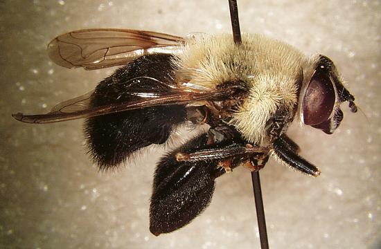 Syrphid fly (Mallota cimbiciform).