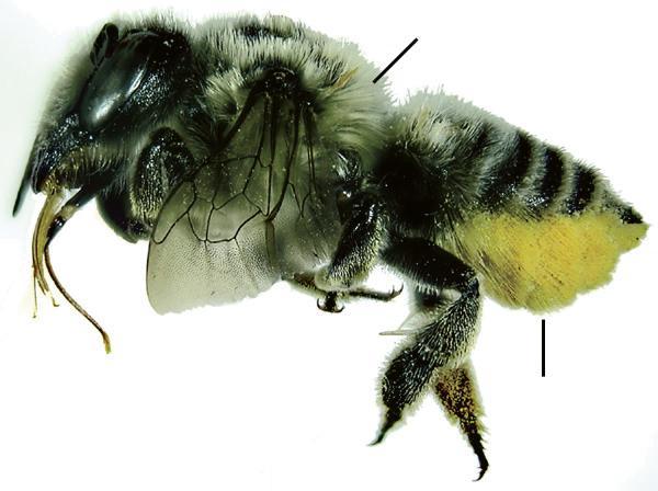 Megachile latimanus