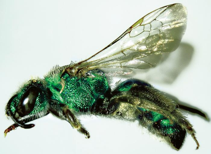 Metallic green Halictus sericeus