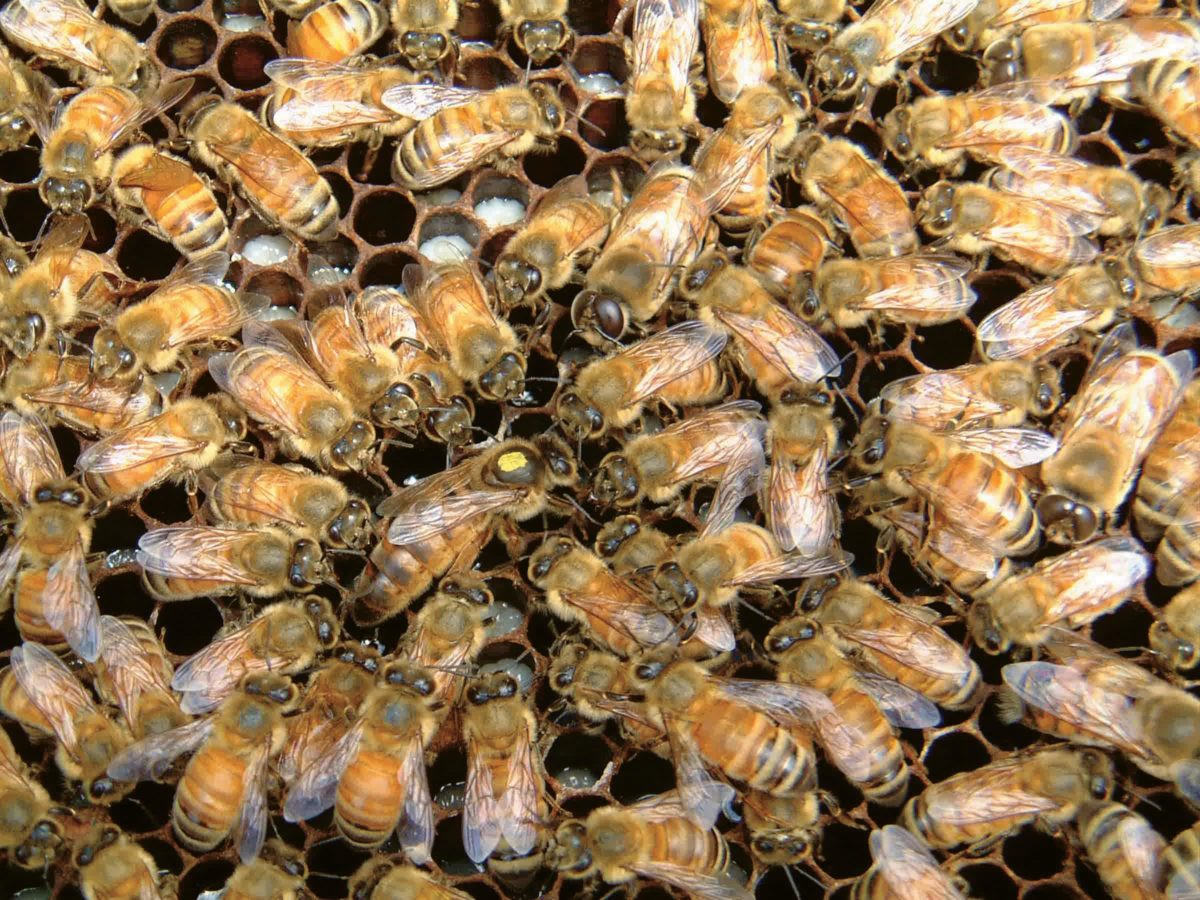 A honey bee queen (center) surrounded by her attendants.