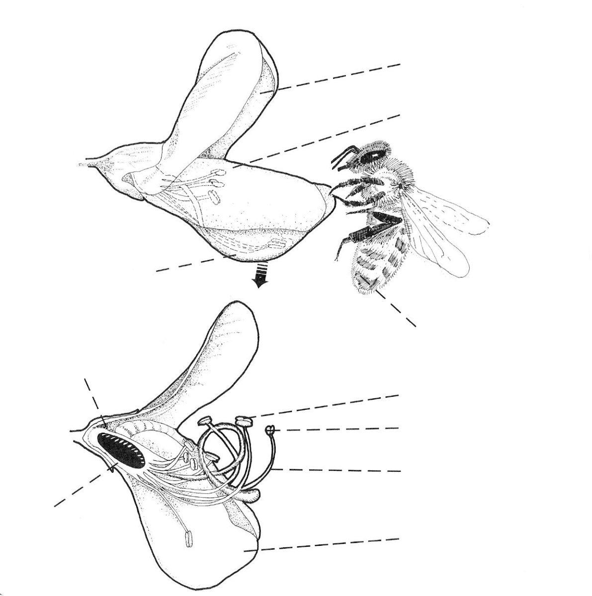 A honey bee tripping an alfalfa flower.