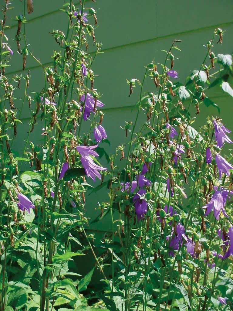 Creeping bellflower (Campanula rapunculoides).