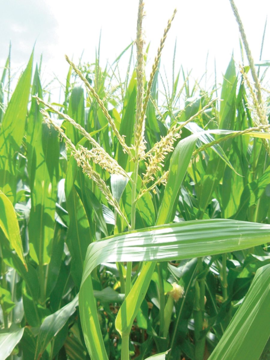 Wind-pollinated plants like corn produce a lot of pollen but lack the showy, colorful appearance of animal pollinated plants.