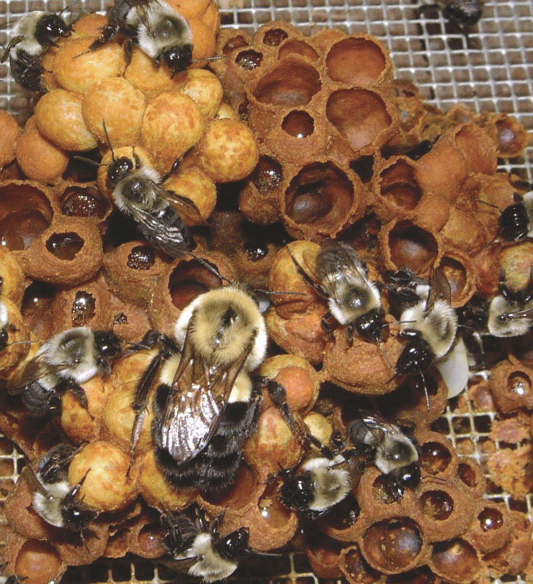Bumble bee hive interior