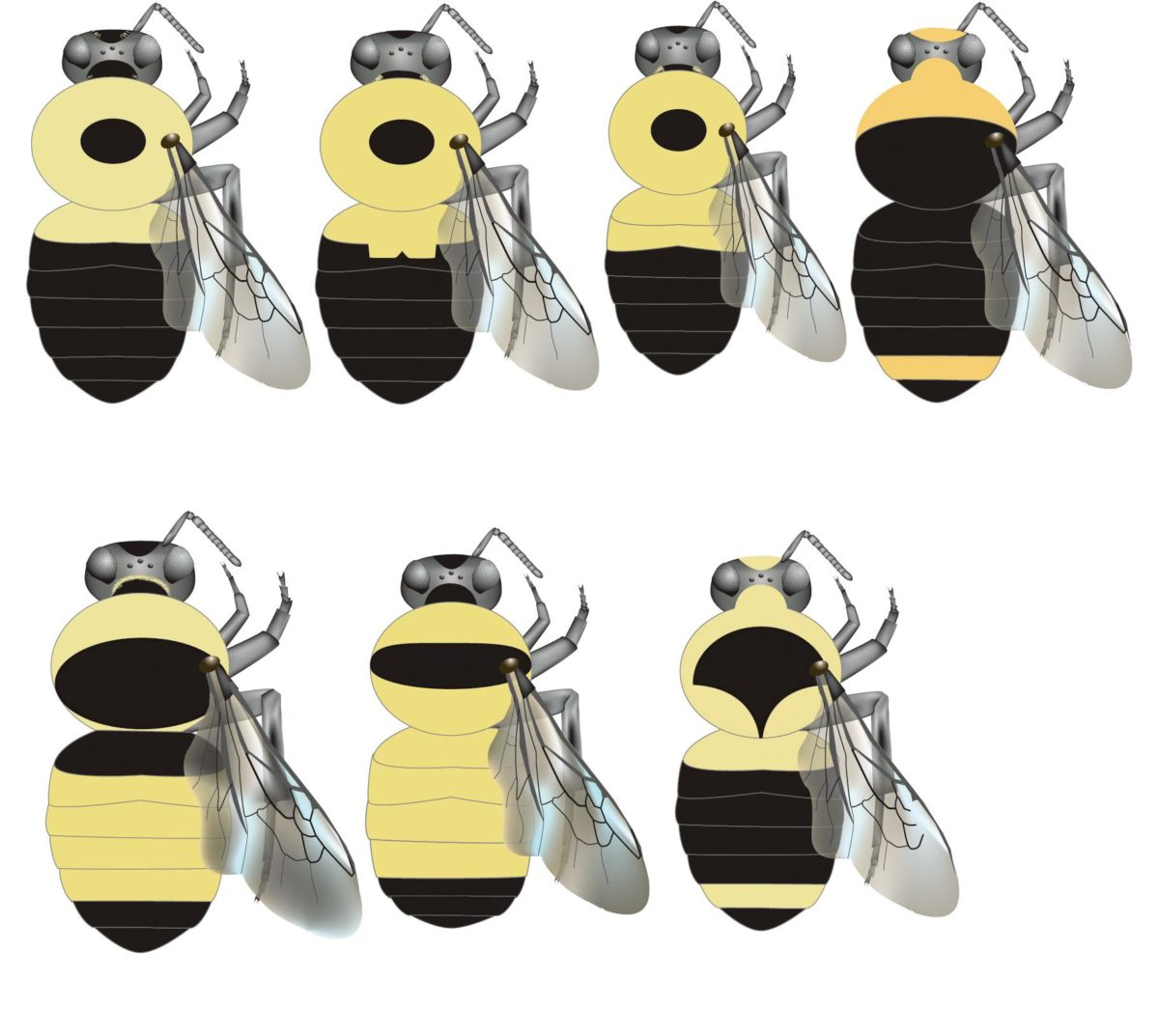 Common bumble bees of North America.