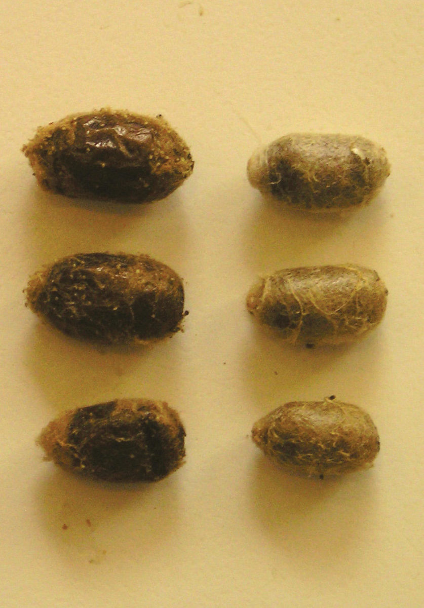 Cocoons of O. lignaria and O. cornifrons.