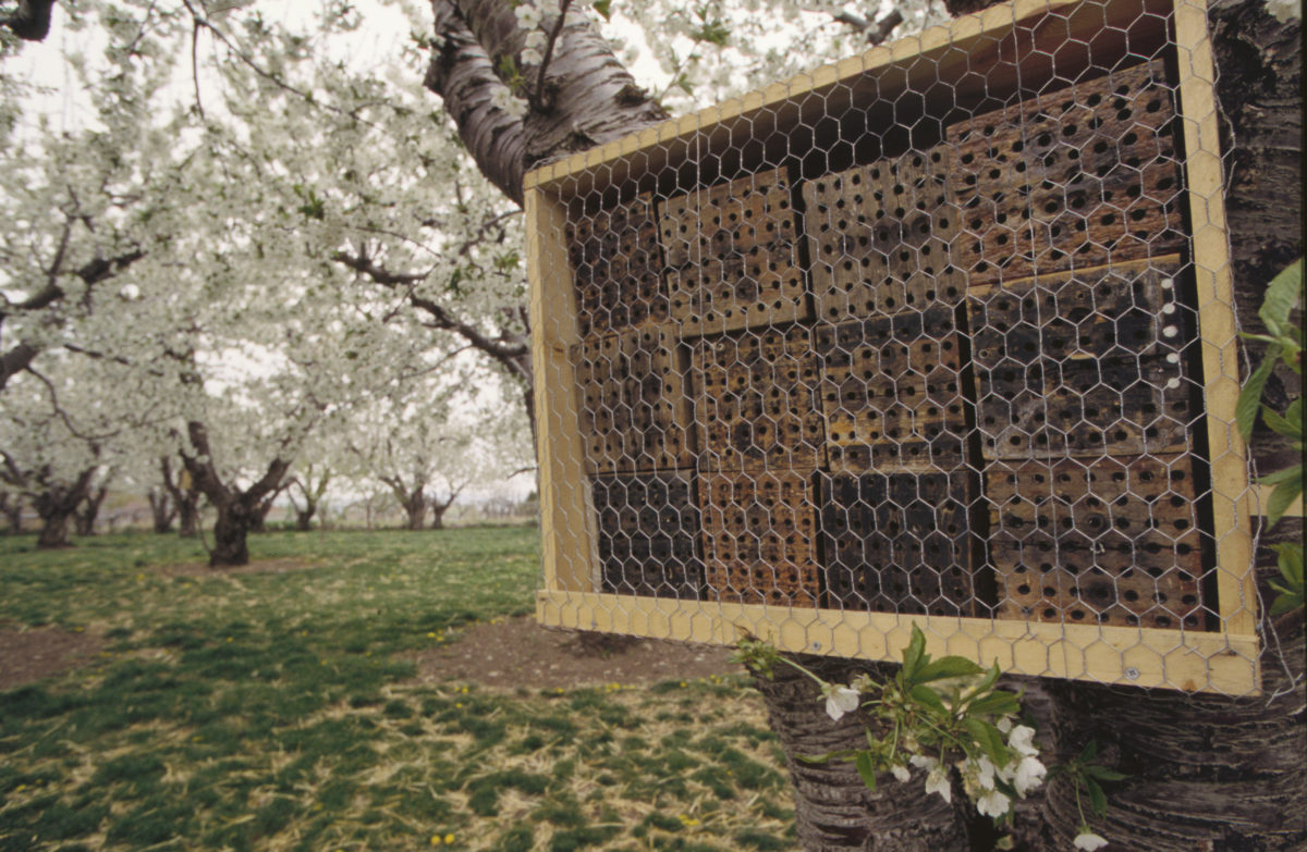A typical mason bee nest shelter in a blooming cherry orchard.