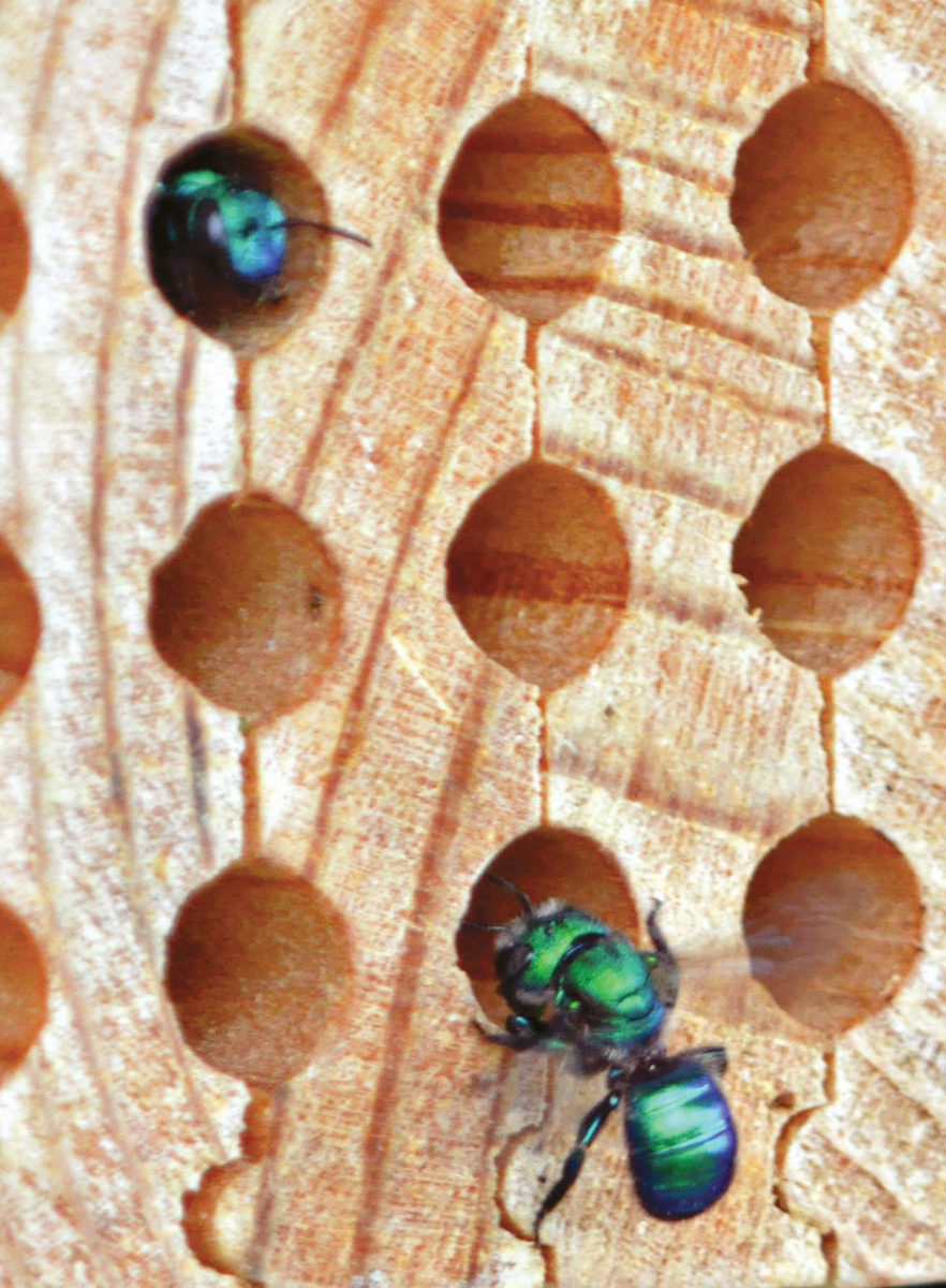 Osmia aglaia nesting in grooved board nests.