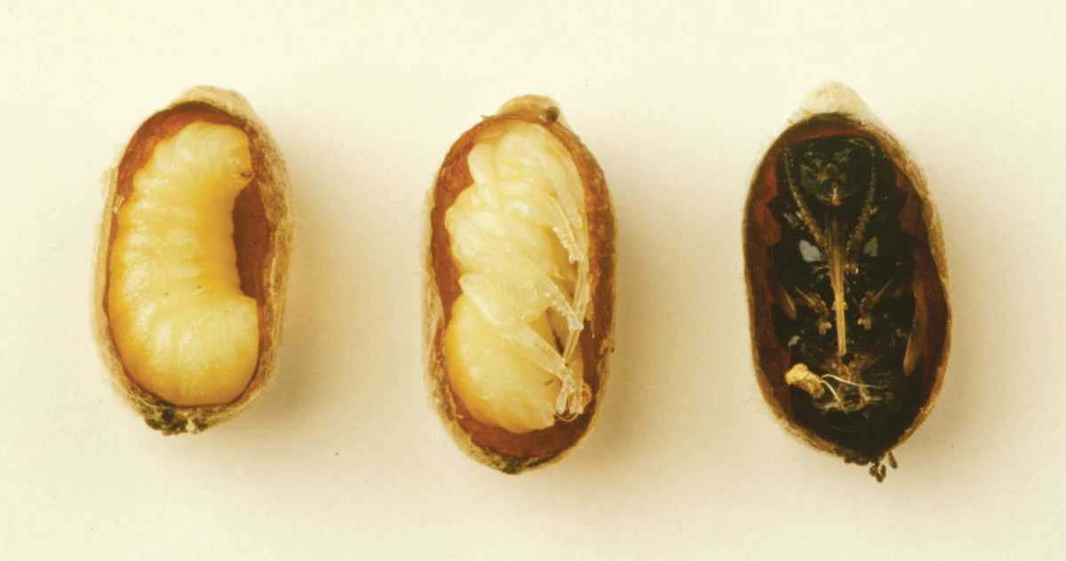 Left to right: blue orchard bee prepupae, white pupa (side view), and black pupa (ventral view) in cut cocoons.