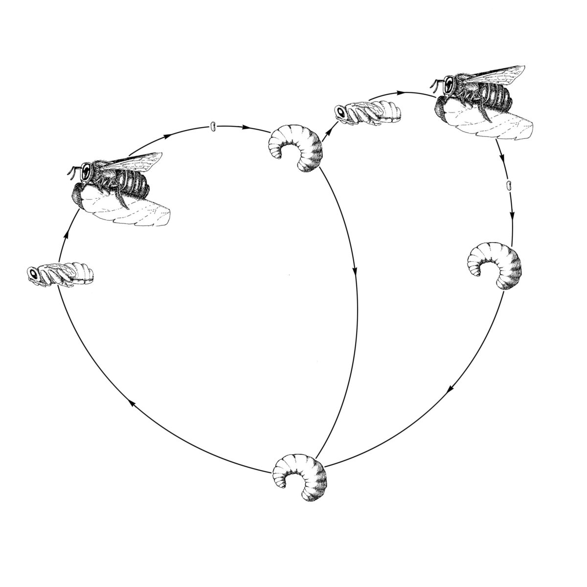 Lifecycle of the alfalfa leafcutter bee.