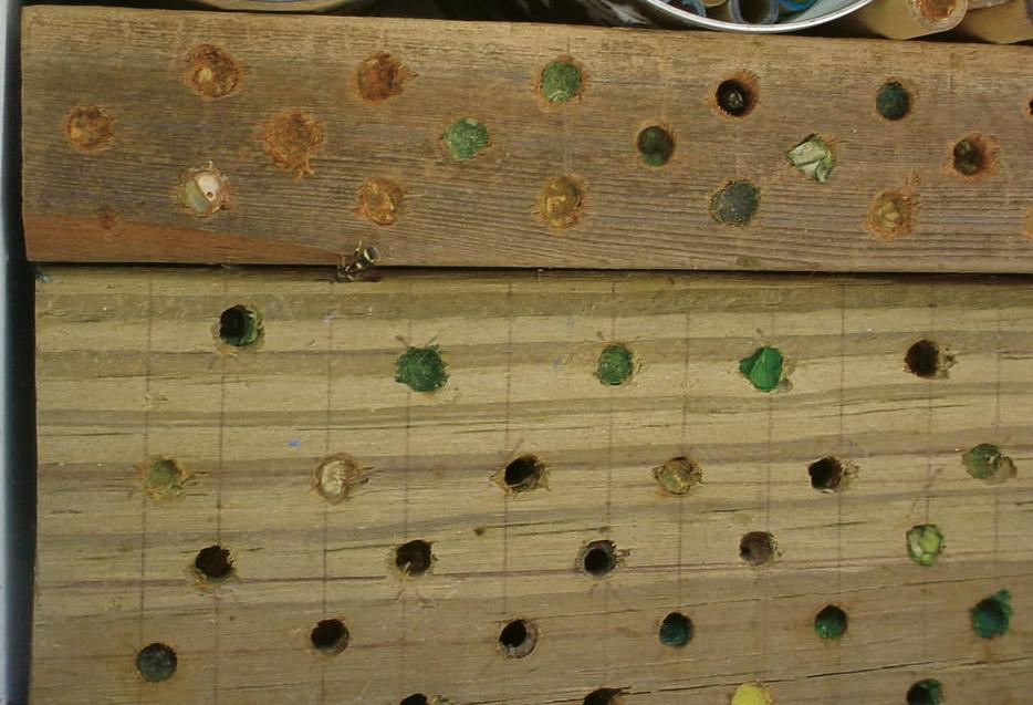 Leafcutter bees in wood.