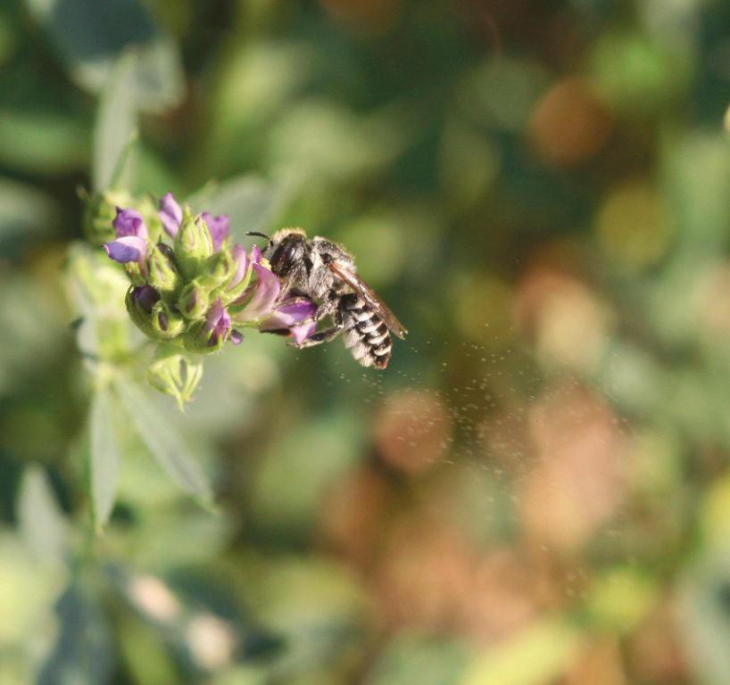 The alfalfa leafcutter bee (Megachile rotundata) pollinating alfalfa.