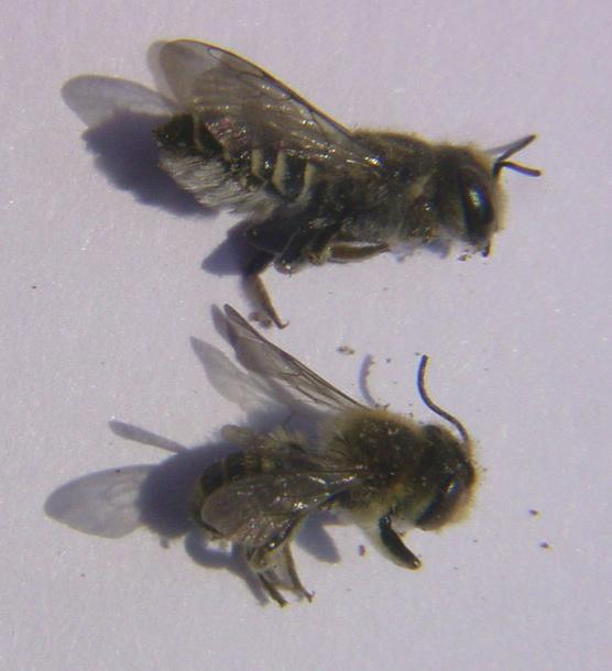 Male and female alfalfa leafcutter bees.