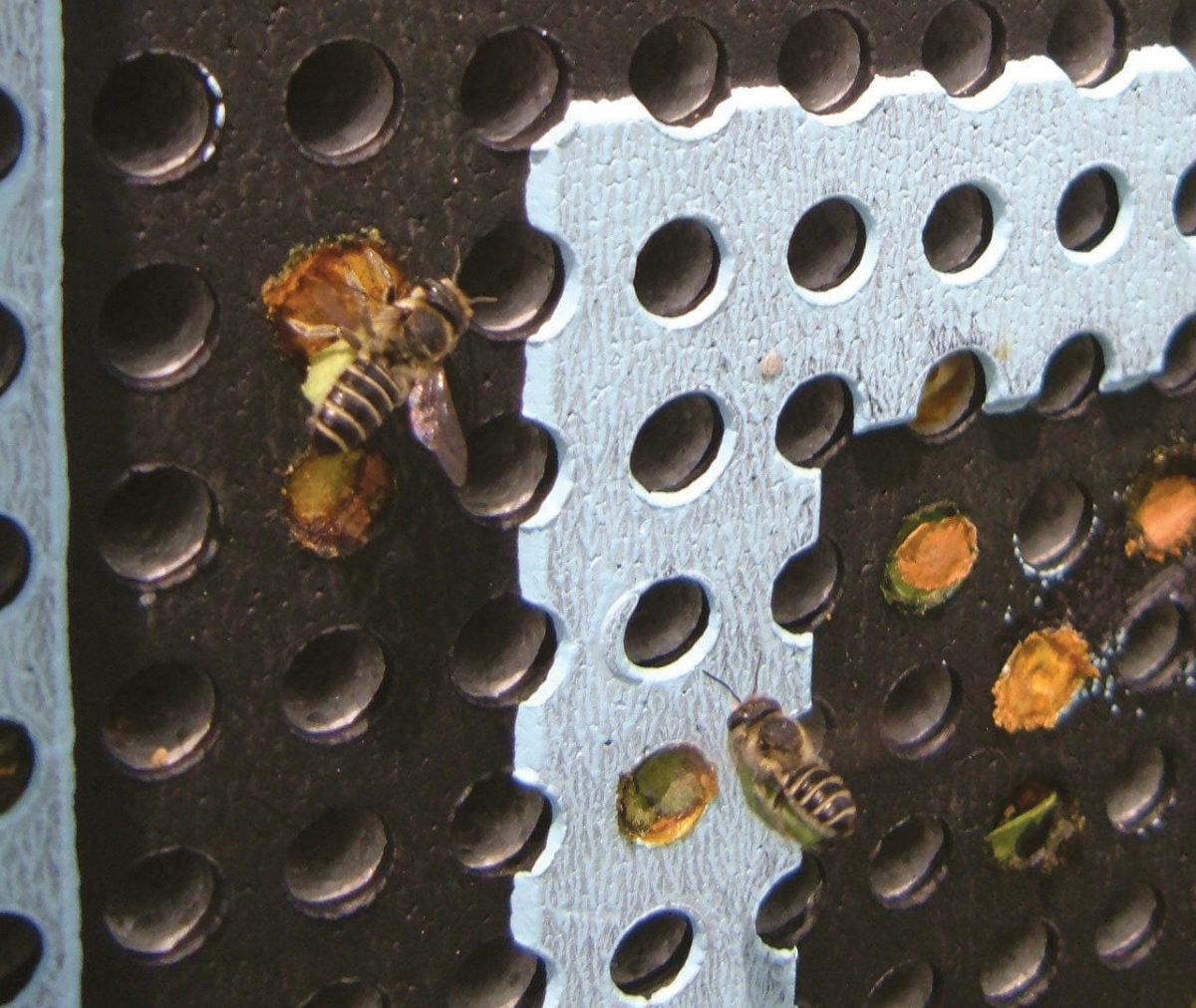 Returning bees carrying cut leaf sections that will be used to line the nest interior.