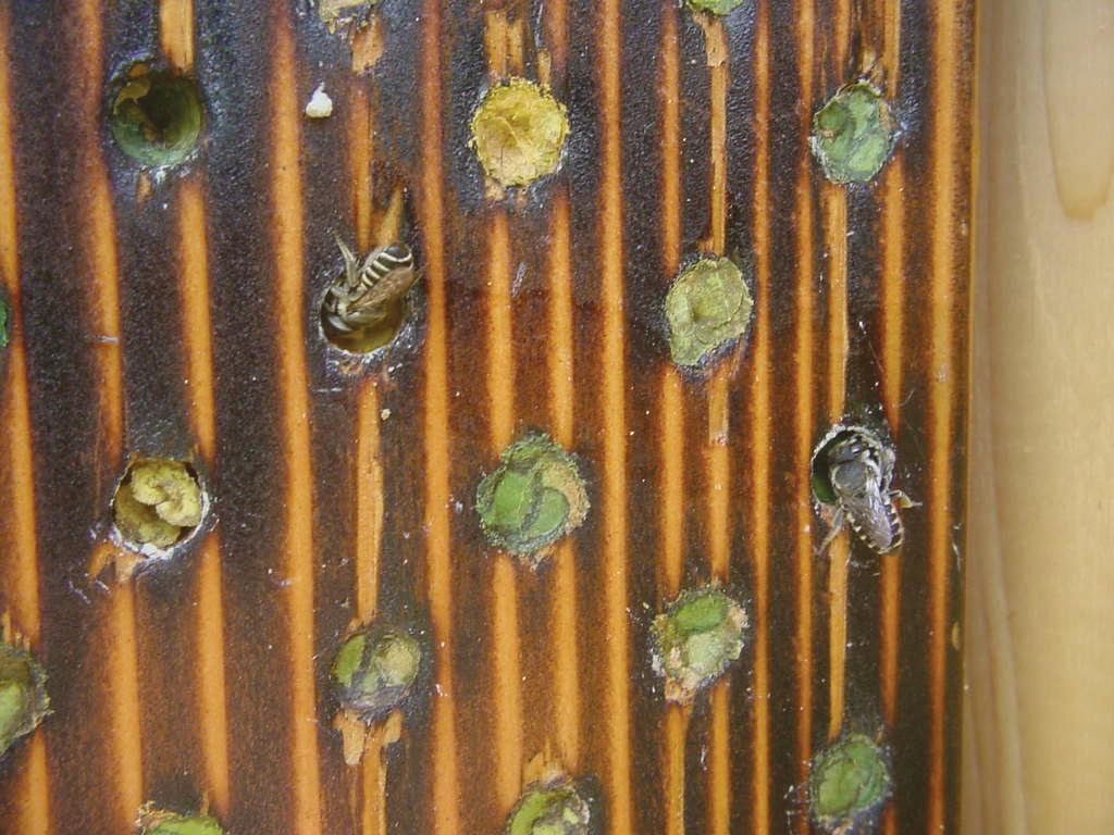 Leafcutter bees complete the final leaf plugs on the nest entrances.
