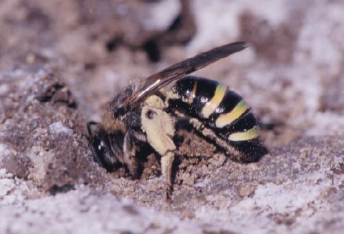 The alkali bee