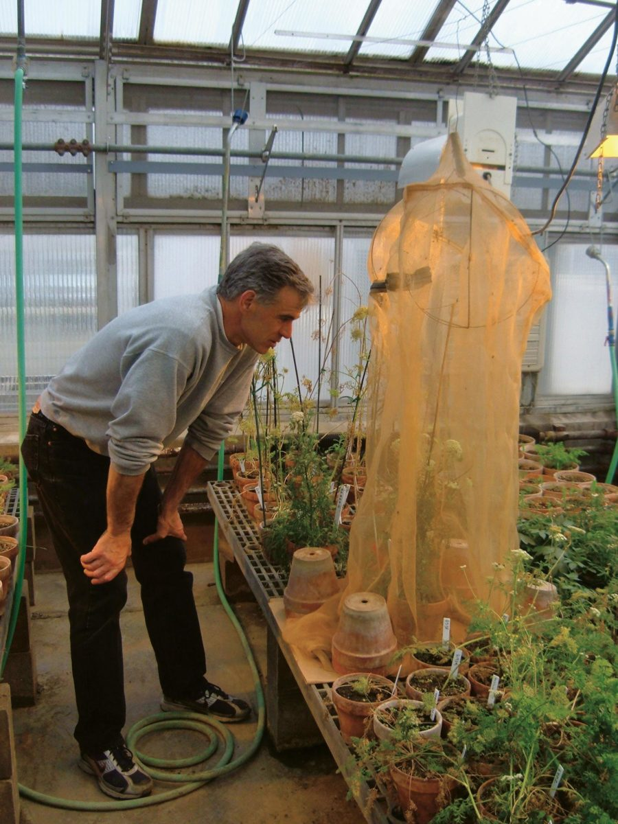 Rob Kane observing flies pollinating a carrot plant in his vegetable breeding greenhouse.