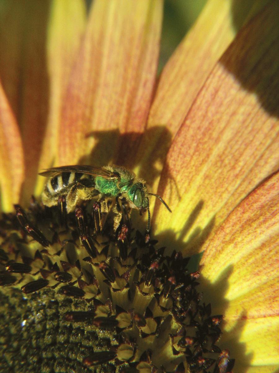 Ground-nesting native bees.