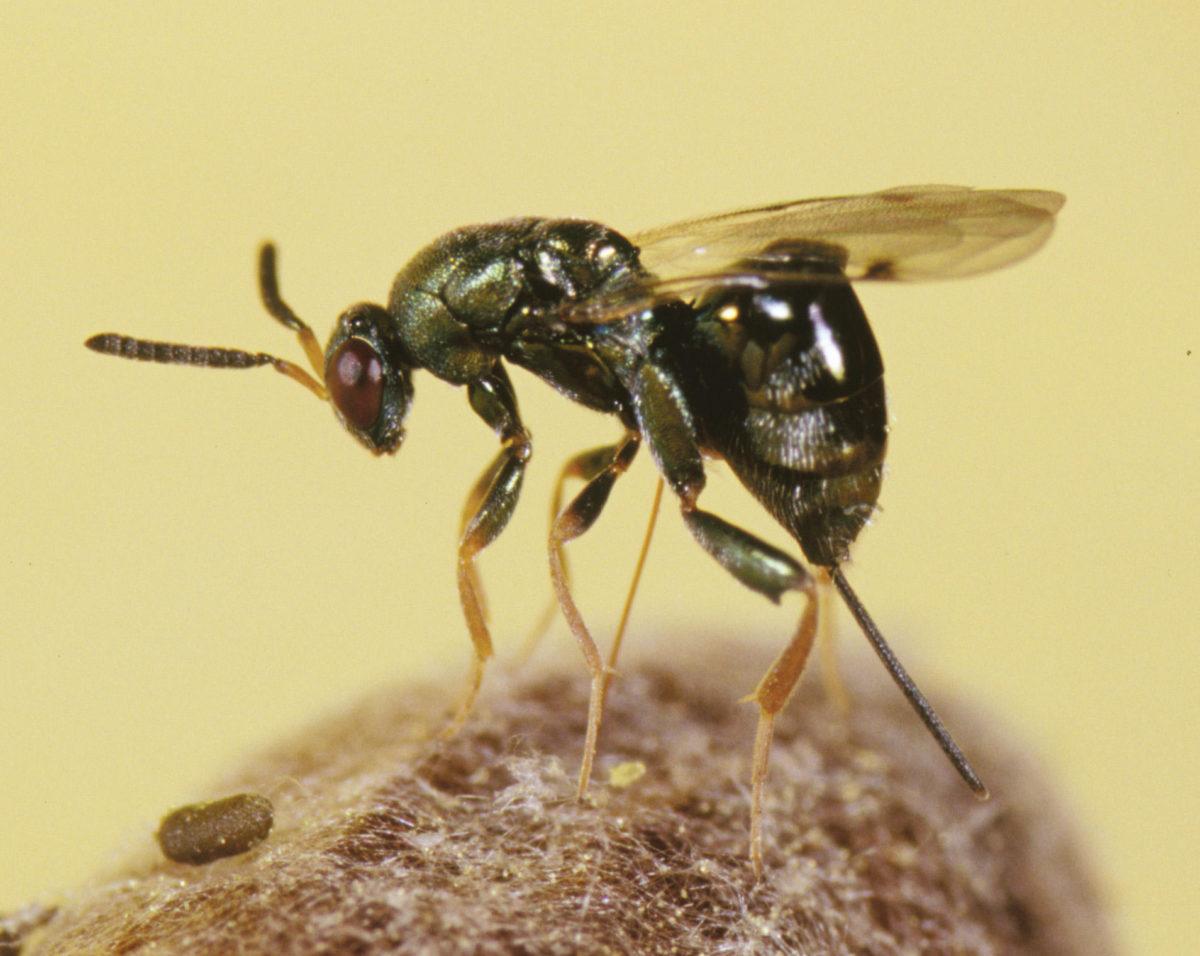 Adult female chalcid wasp, Monodontomerus.