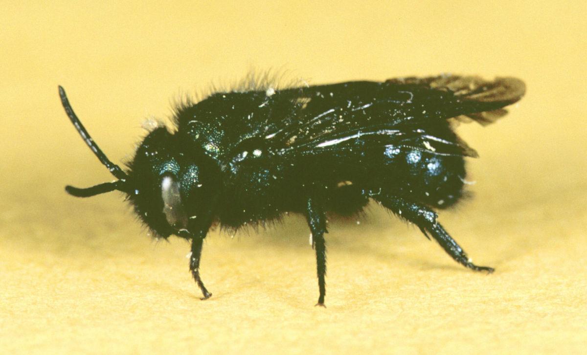 "Stelis montana, a cleptoparasitic (or ""cuckoo"") bee."