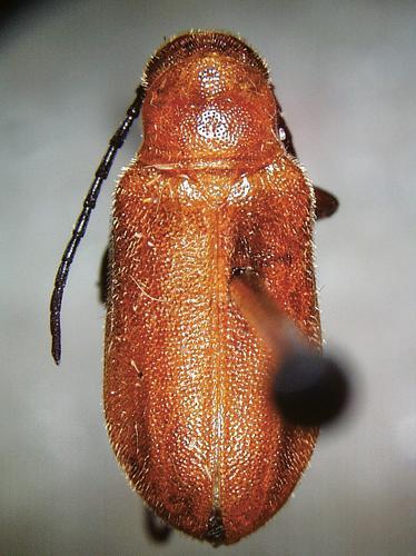 Adult brown blister beetle, Nemognathus vittigera.