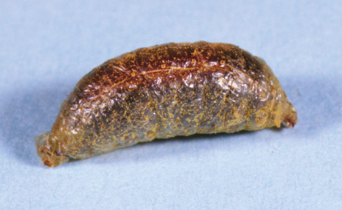 Wintering adult blister beetle, Tricrania stansburyi, enclosed within its cocoon-like coarctate.