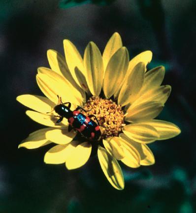 Adult checkered flower beetle, Trichodes nutalli.