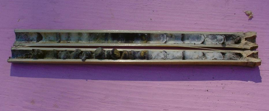 A bamboo Osmia nest tube split lengthwise to reveal chalkbrood cadavers in the innermost cells.