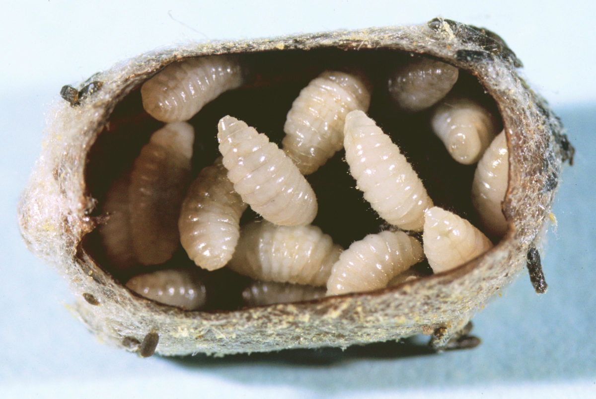 Infested blue orchard bee cocoon opened to show Monodontomerus larvae