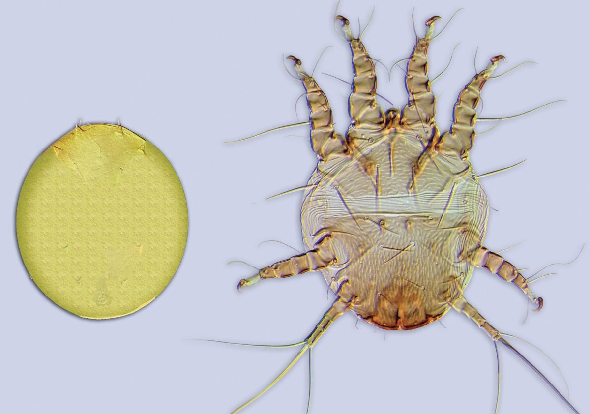 Nonmigratory, and migratory stages of the hairy-fingered mite (Chaetodactylus krombeini).