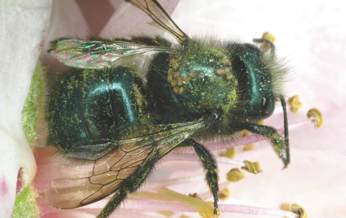 A blue orchard bee with hairy-fingered mites attached to the thorax.