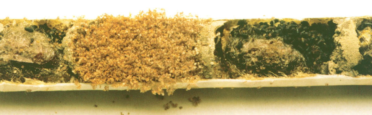An Osmia lignaria nest tube split lengthwise to reveal a hairy-fingered mite infestation.