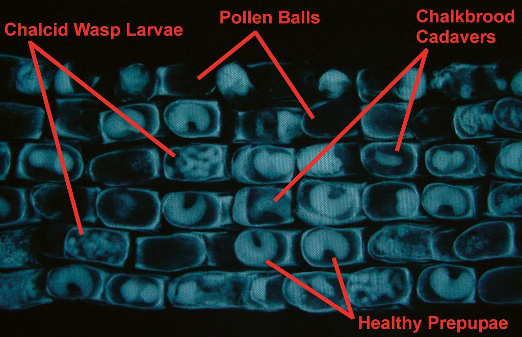 A close-up X-ray image of leafcutter cells.