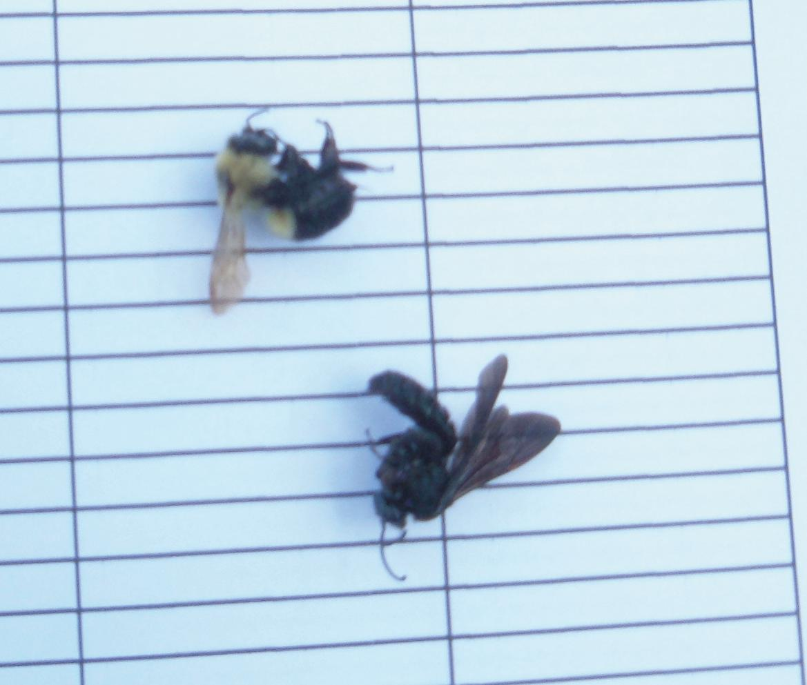 Bees killed by pesticide poisoning in an agricultural field.