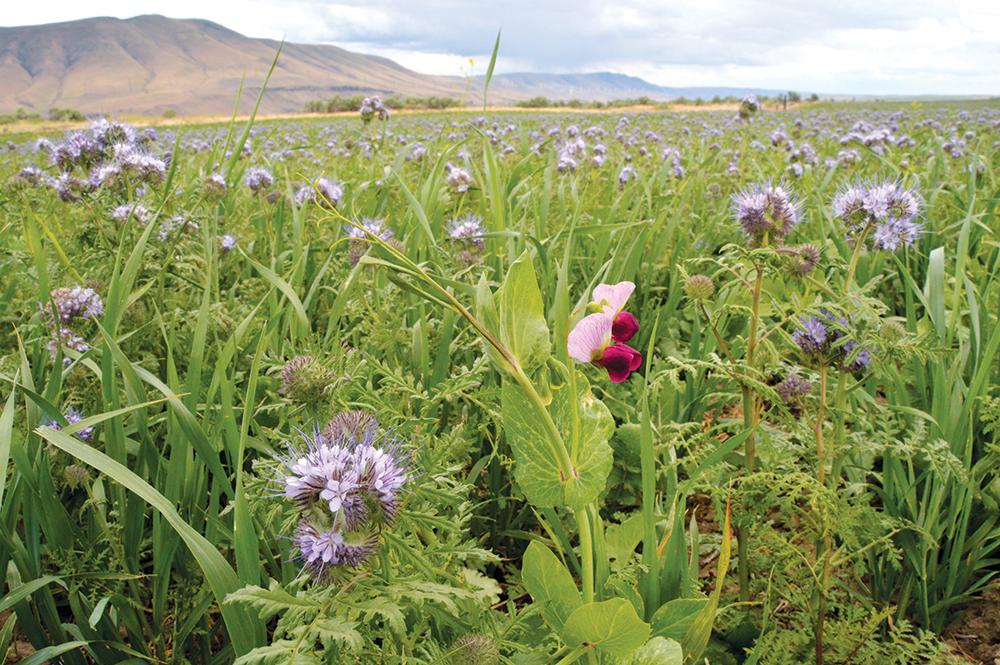 Multi Species Cover Crop in Eastern Oregon