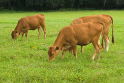 Cattle on Bahiagrass