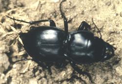 Coleoptera: Carabidae Pendunculate ground beetle   (Pasimachus depressus)