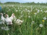 Perfecting the Day-Range Pastured-Poultry System cover