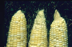 Photo D. Sample of corn ears at harvest. Ear on right has cone-tip from oil application. The other two were not treated with oil; the tip fill of the center ear is incomplete, a condition that occurs in some varieties or under certain environmental conditions. Oil application does not always result in cone-tip.
