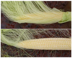 Photo E. De-husked corn ears during early silk. E-1. Kernels have not been fertilized, ear is too young for oil treatment. E-2. Only kernels at tip have not been fertilized. Oil should be applied at this stage.