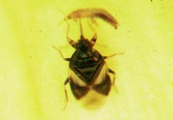 Hemiptera: Anthocoridae Pirate bug   (Orius spp.)