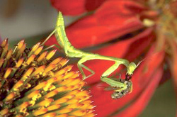 Orthoptera: Mantidae Praying mantid nymph on coneflower eating a fly