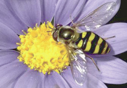 Select flowering plants that attract beneficial insects, such as this adult syrphid fly.