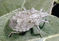 Hemiptera: Pentatomidae. Predatory rough-shield stink bug   (Brochymena spp.)