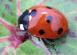 Coleoptera: Coccinellidae Sevenspotted lady beetle   (Coccinella septempunctata)