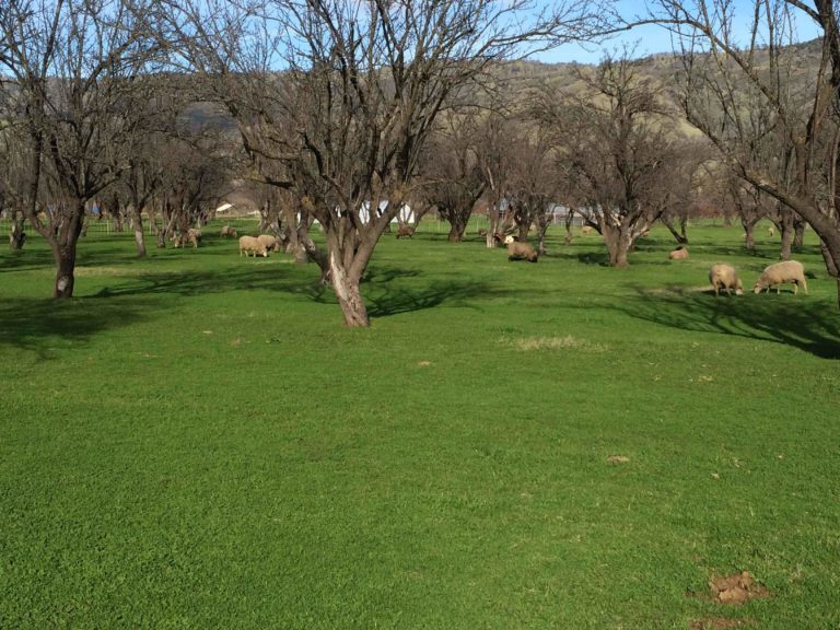 Sheep grazing in an orchard