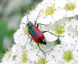 Coleoptera: Melyridae Soft-winged flower beetle